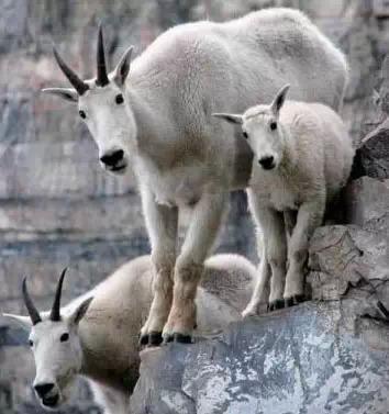 【转发】看看这么牛的山羊_图1-24