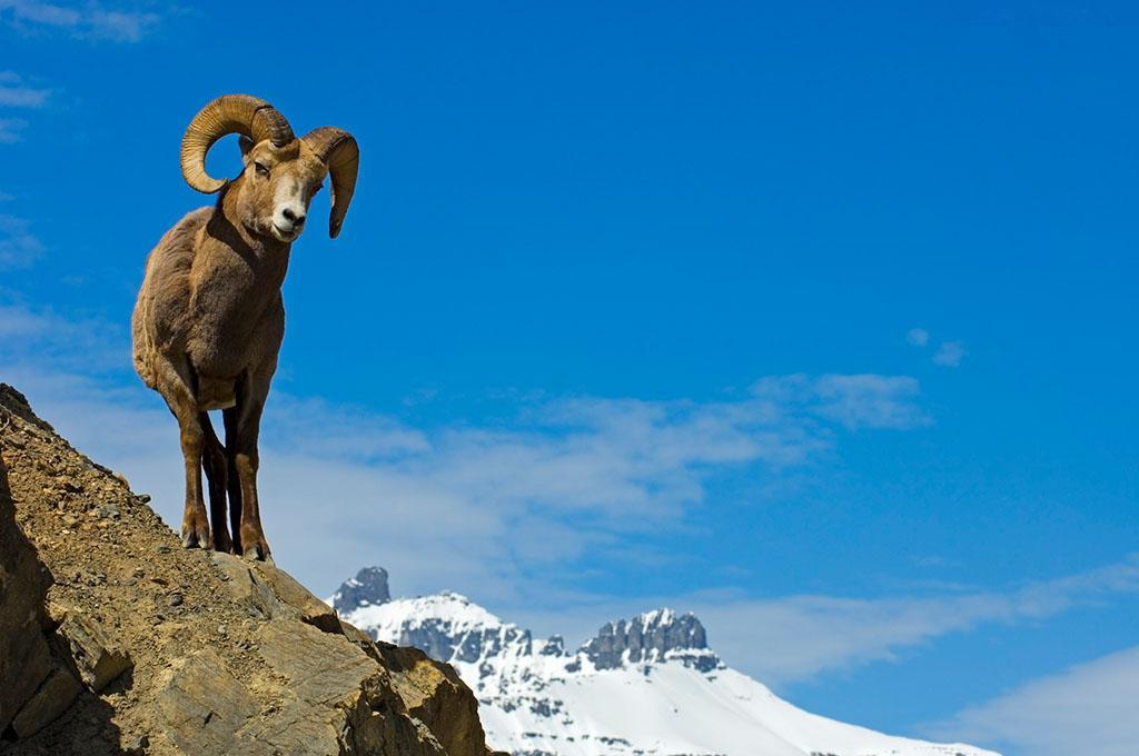 【转发】看看这么牛的山羊_图1-23