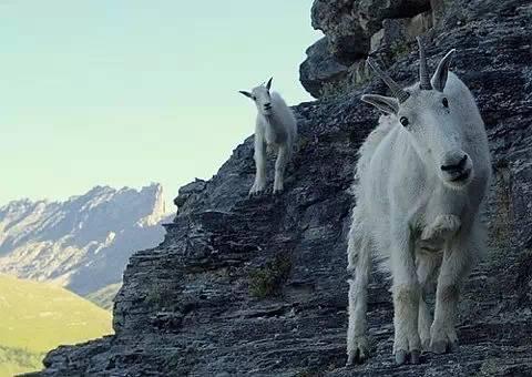 【转发】看看这么牛的山羊_图1-22