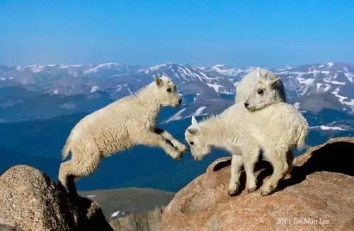 【转发】看看这么牛的山羊_图1-19