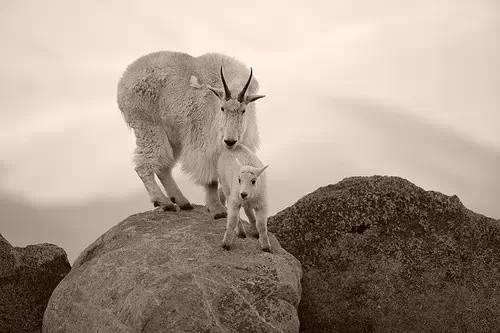 【转发】看看这么牛的山羊_图1-17