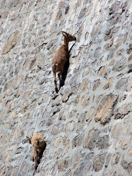 【转发】看看这么牛的山羊_图1-13