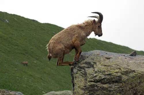 【转发】看看这么牛的山羊_图1-8