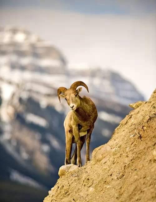 【转发】看看这么牛的山羊_图1-3