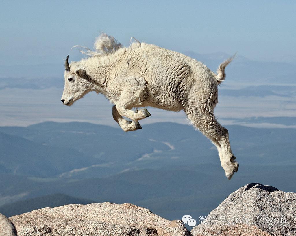 【转发】看看这么牛的山羊_图1-1
