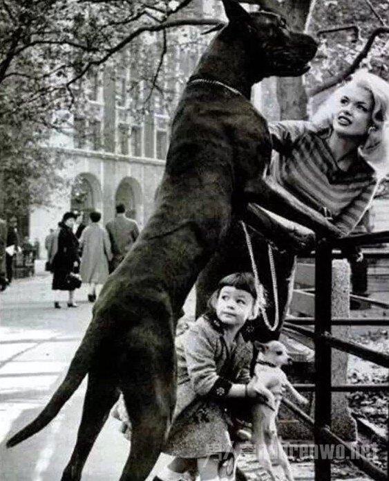 这么大的狗,你绝对没见过!_图1-15