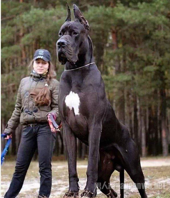 这么大的狗,你绝对没见过!_图1-14