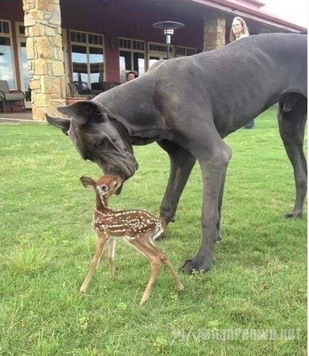 这么大的狗,你绝对没见过!_图1-13