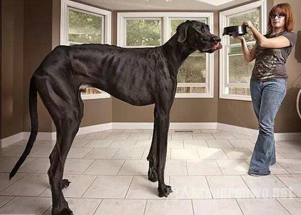 这么大的狗,你绝对没见过!_图1-10
