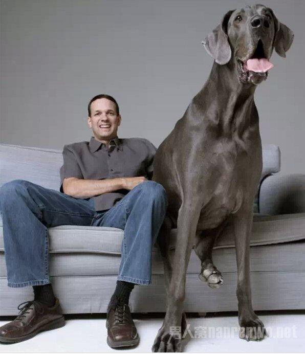 这么大的狗,你绝对没见过!_图1-9