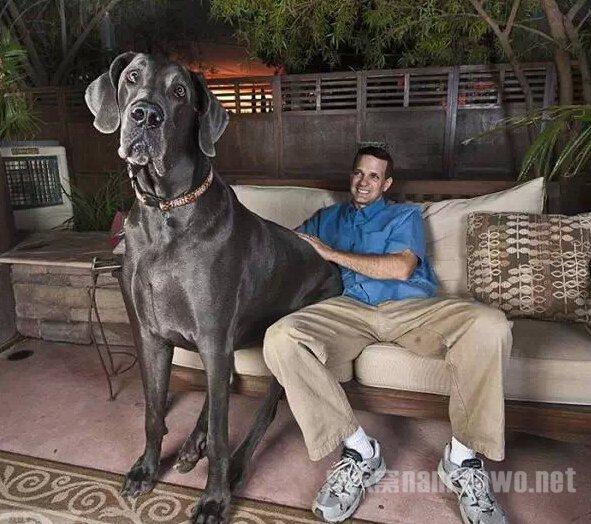 这么大的狗,你绝对没见过!_图1-6