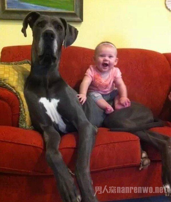 这么大的狗,你绝对没见过!_图1-5