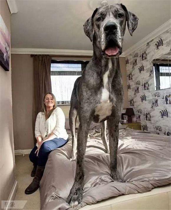 这么大的狗,你绝对没见过!_图1-3