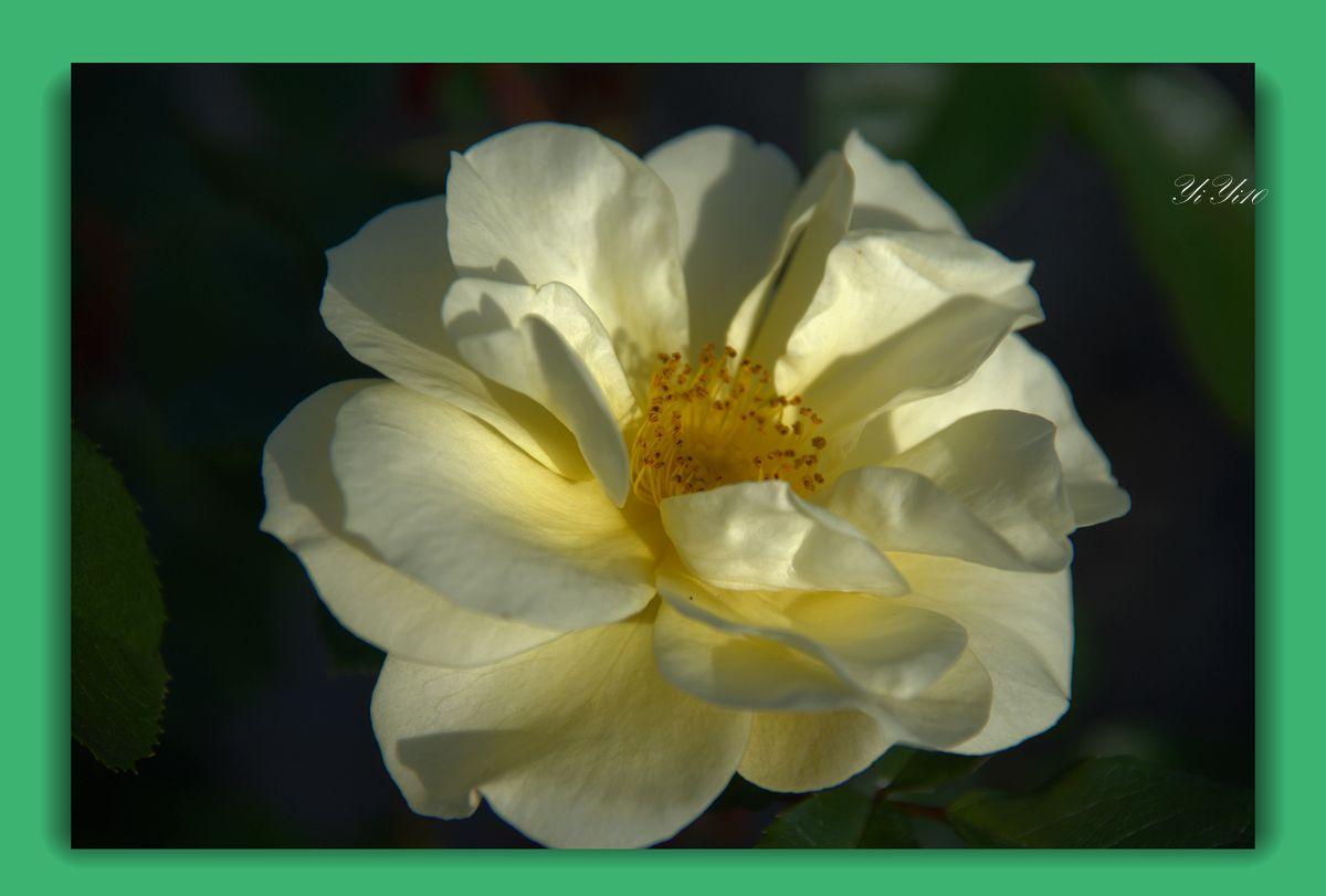 【原创】六色玫瑰花(摄影)_图1-6