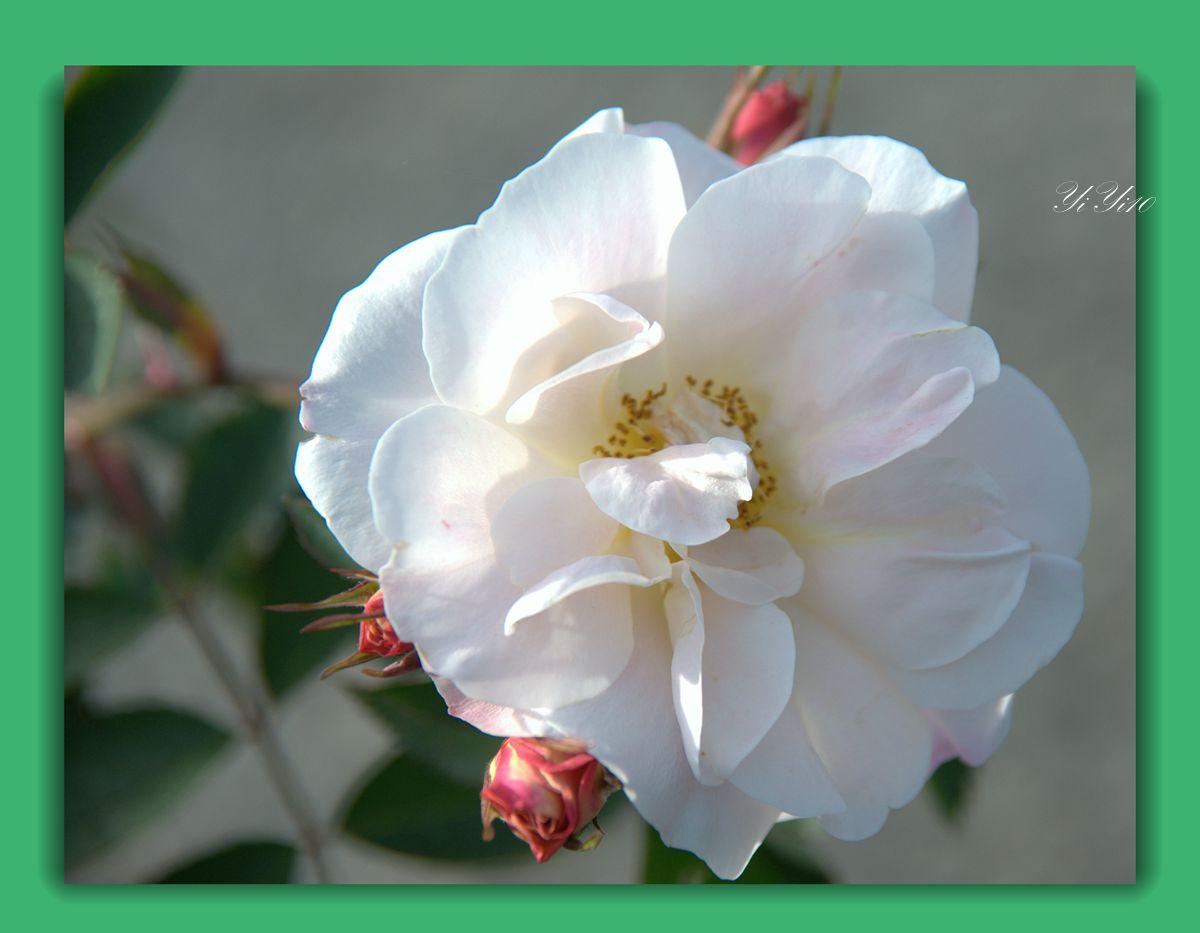 【原创】六色玫瑰花(摄影)_图1-7