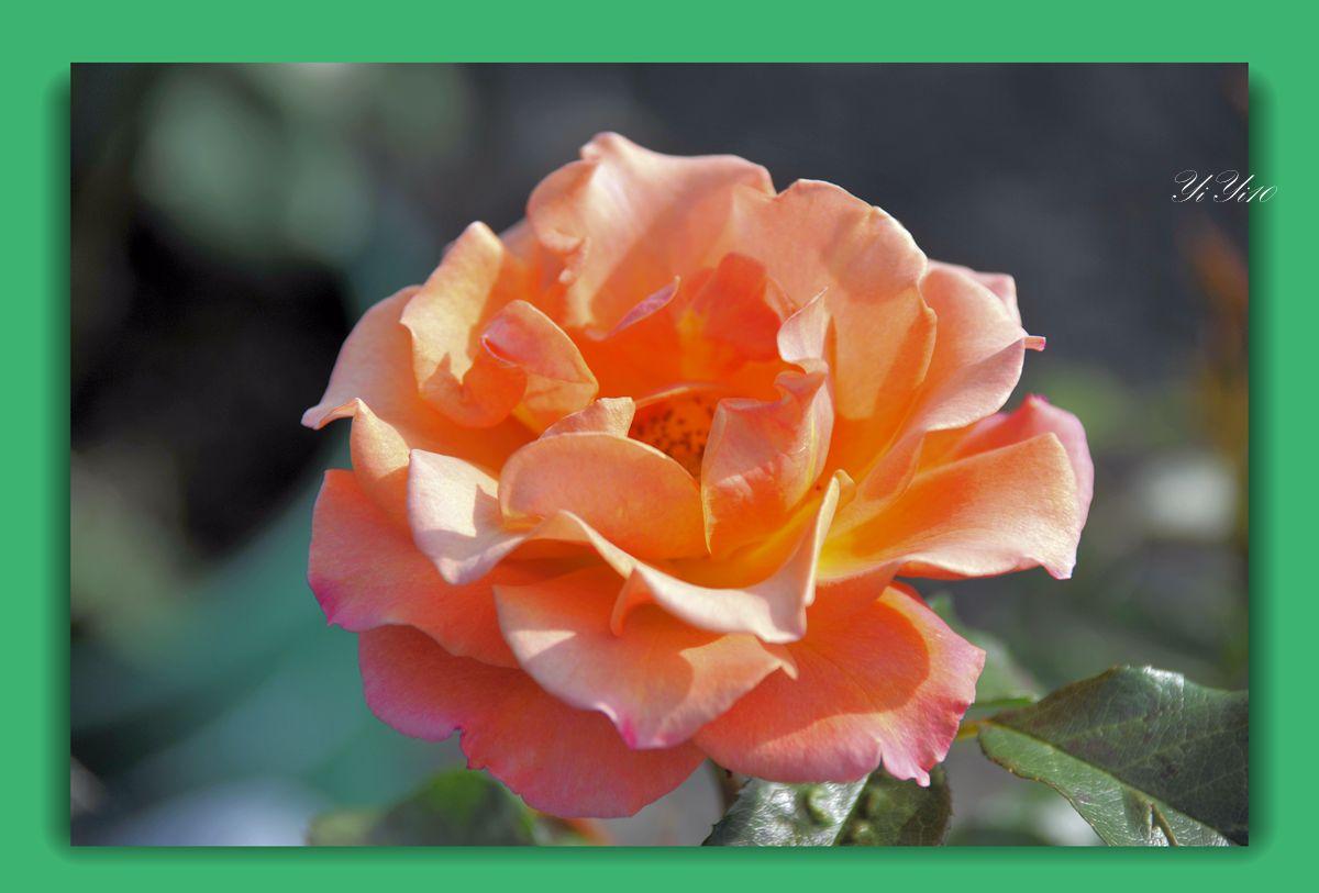 【原创】六色玫瑰花(摄影)_图1-4