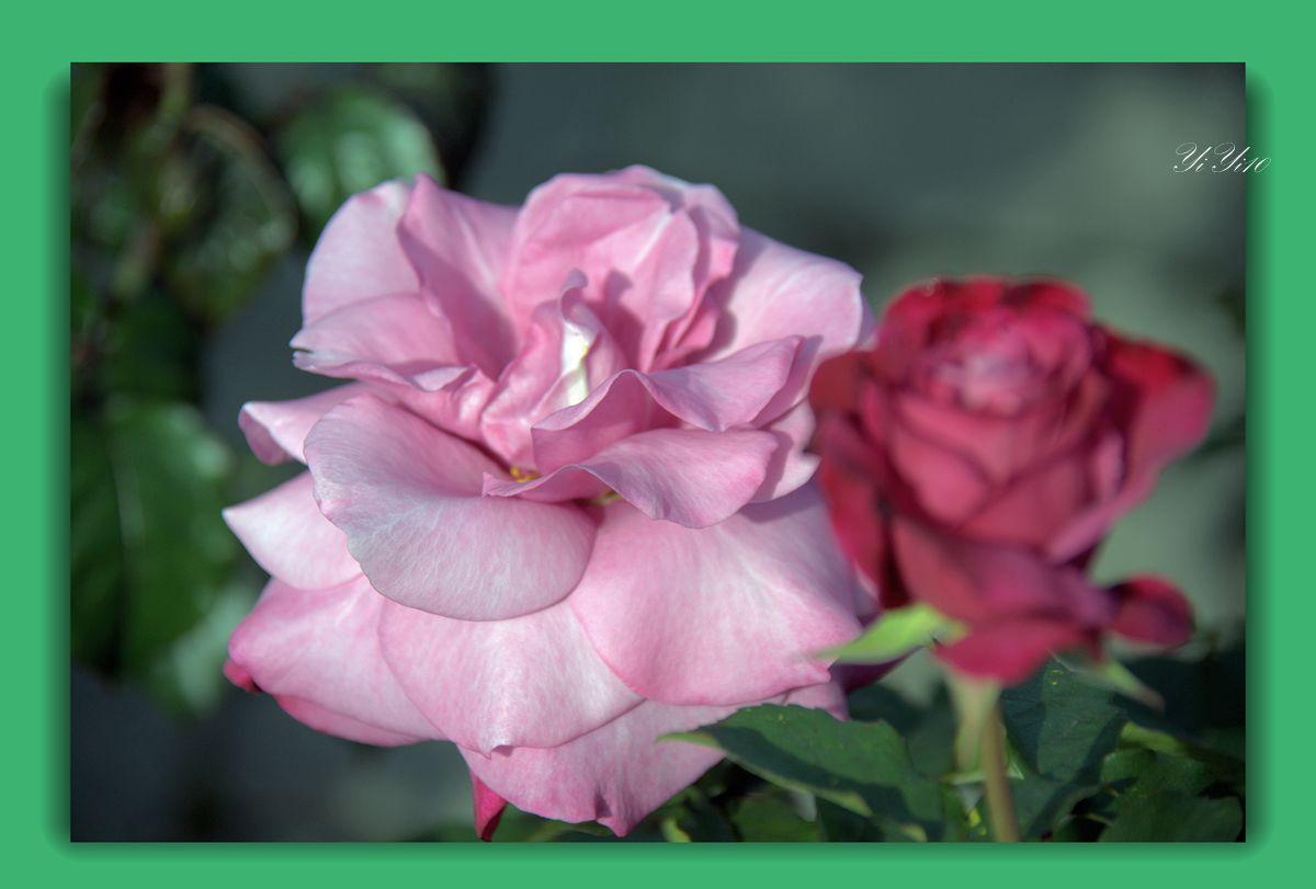 【原创】六色玫瑰花(摄影)_图1-5