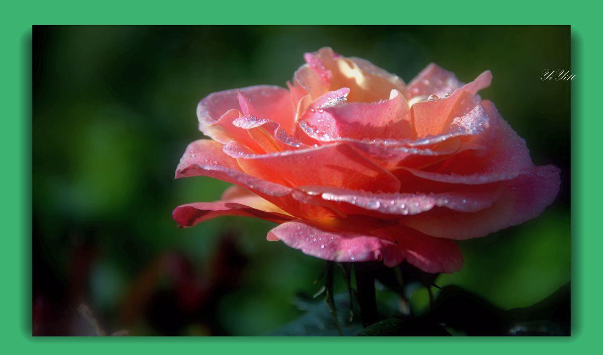 【原创】六色玫瑰花(摄影)_图1-8