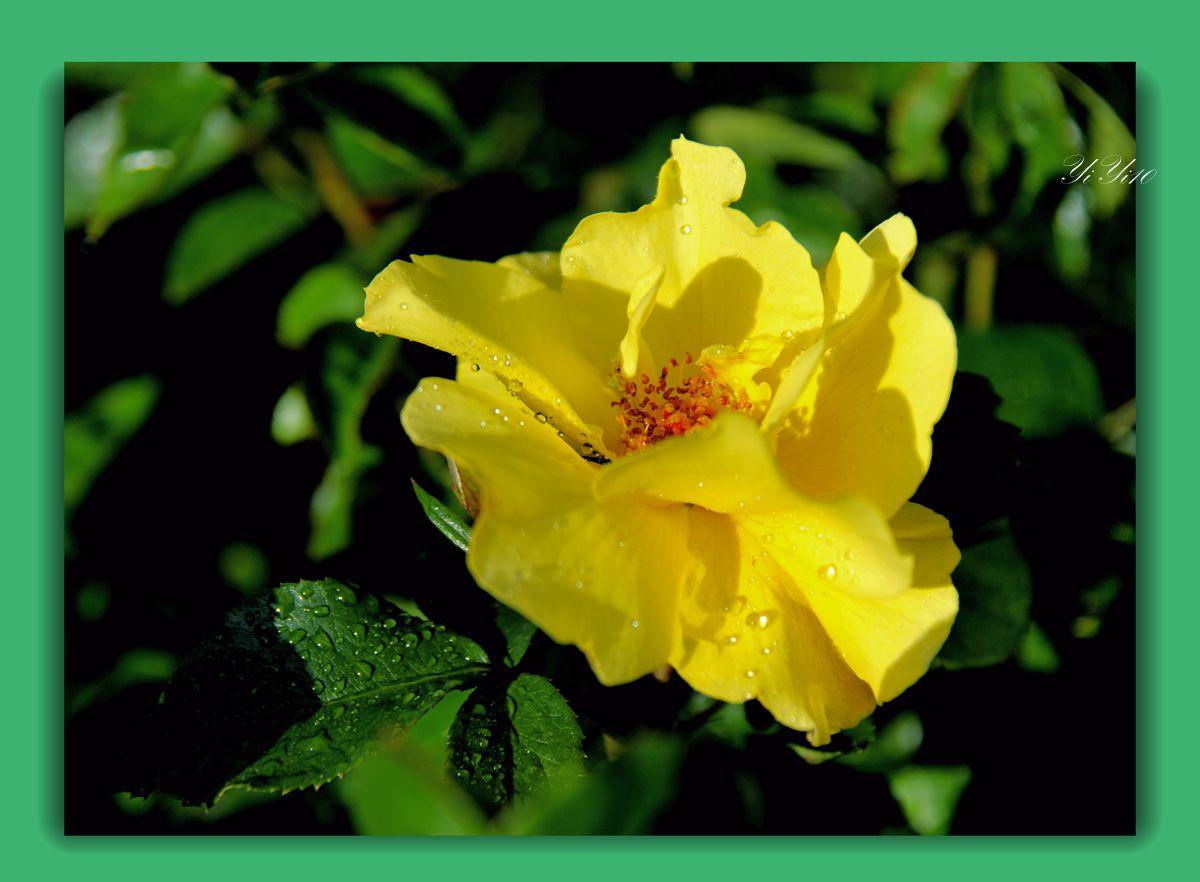 【原创】六色玫瑰花(摄影)_图1-3