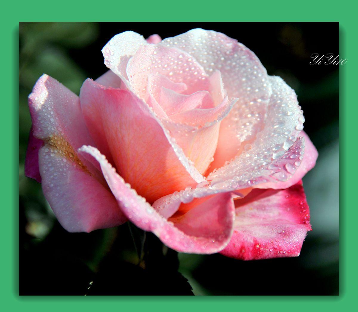 【原创】六色玫瑰花(摄影)_图1-12