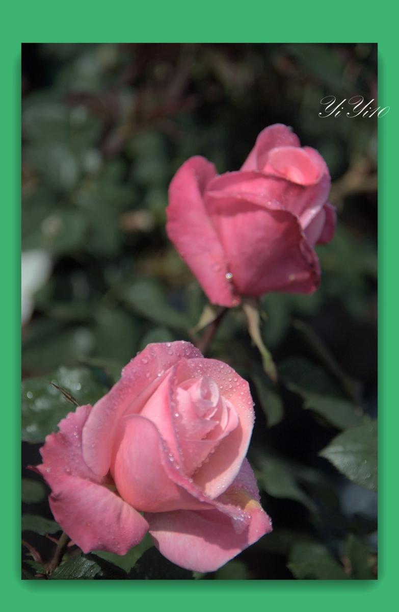 【原创】六色玫瑰花(摄影)_图1-10