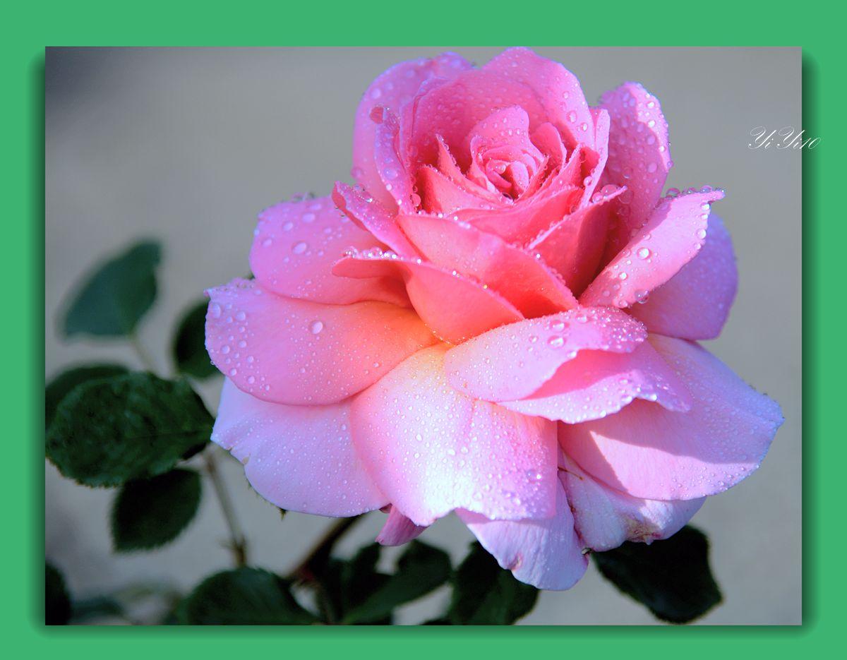【原创】六色玫瑰花(摄影)_图1-2