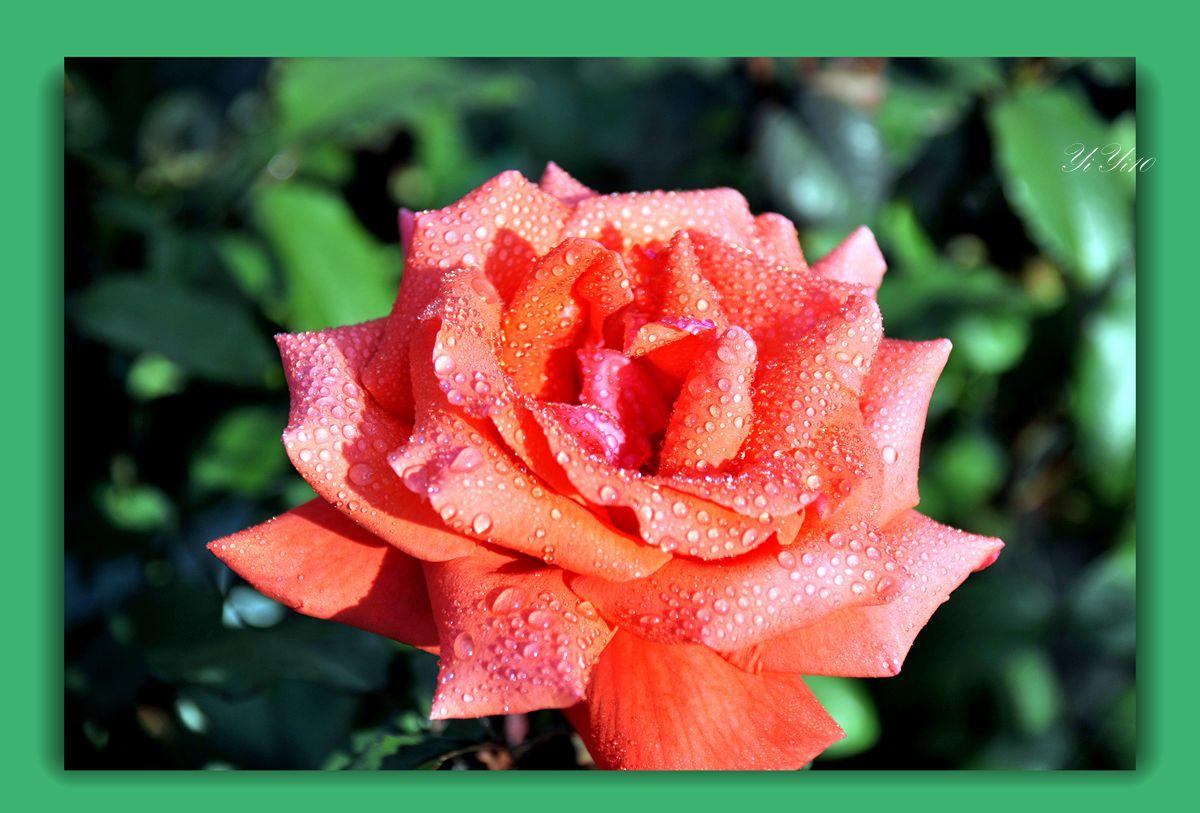 【原创】六色玫瑰花(摄影)_图1-11
