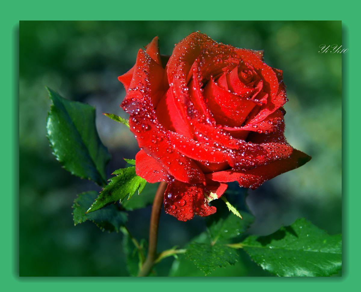【原创】六色玫瑰花(摄影)_图1-1