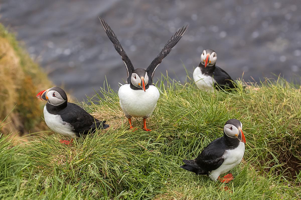 冰島賞鳥 – 海鸚鵡( puffin)_图1-4