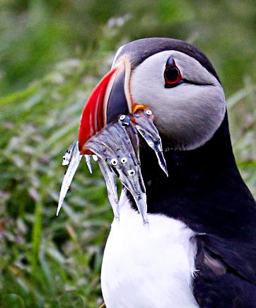 冰島賞鳥 – 海鸚鵡( puffin)_图1-8