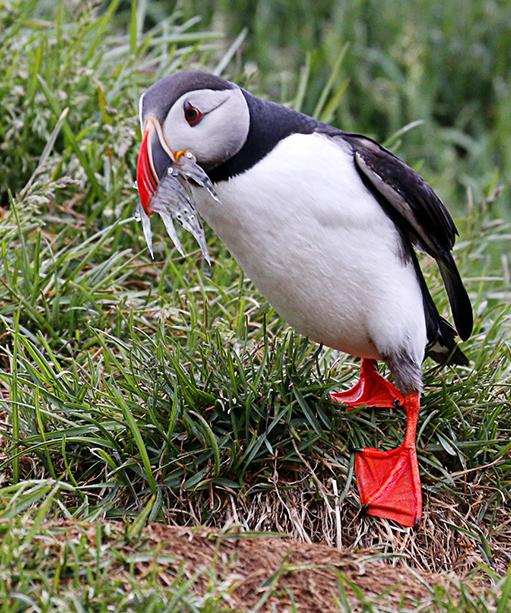 冰島賞鳥 – 海鸚鵡( puffin)_图1-9
