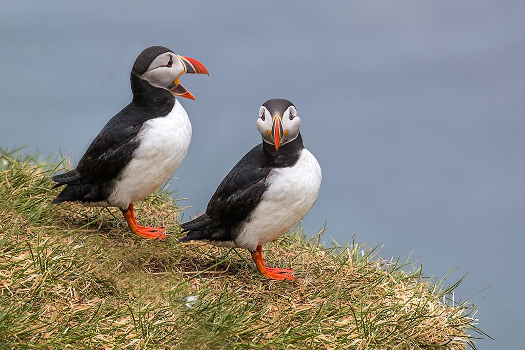 冰島賞鳥 – 海鸚鵡( puffin)_图1-1