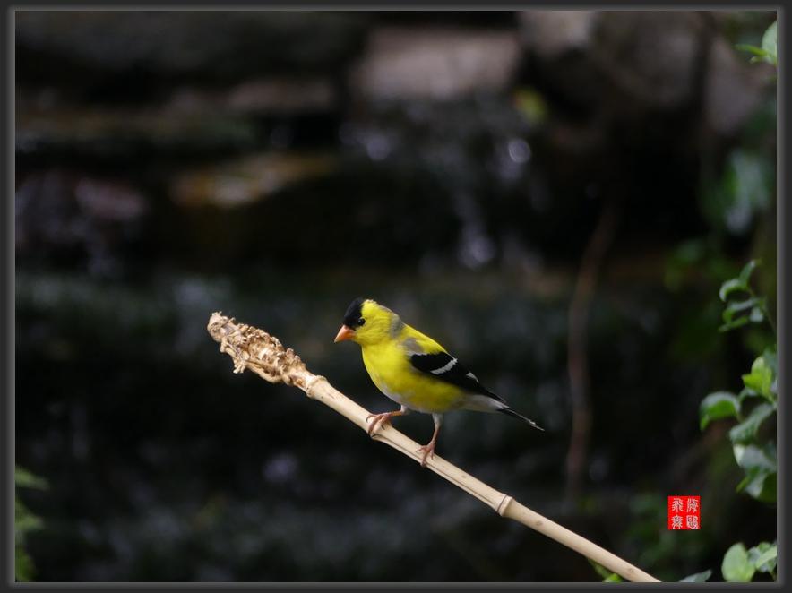 小机摄鸟-lumix dmc-fz300_图1-12