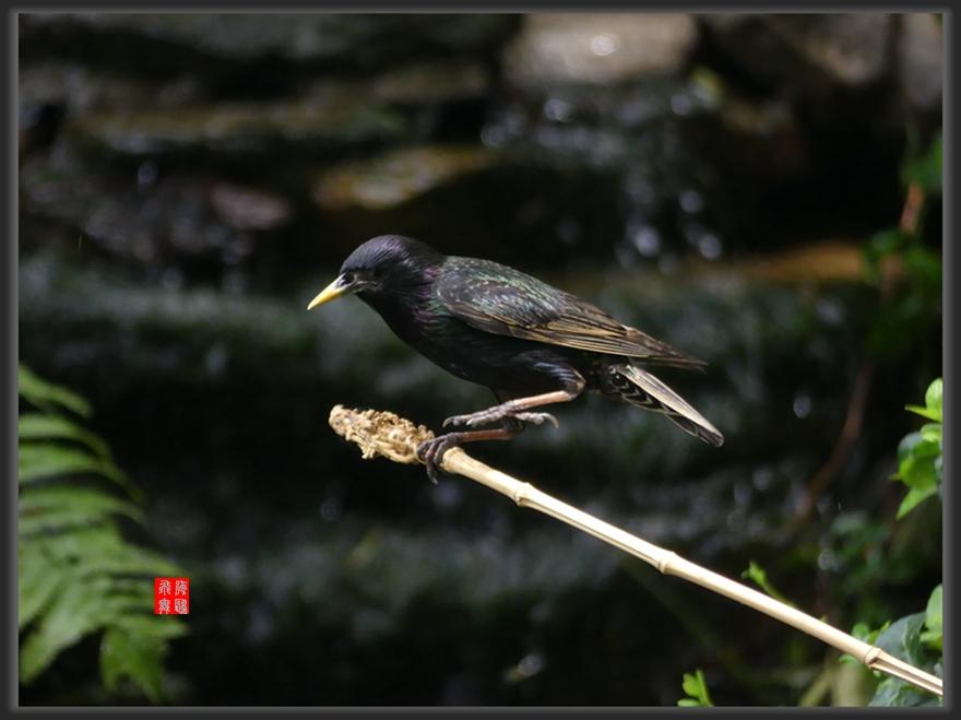 小机摄鸟-lumix dmc-fz300_图1-13