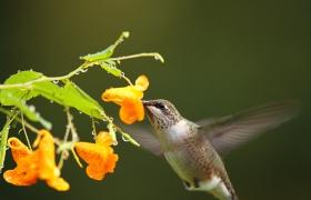 【田螺摄影】kissena park拍蜂鸟