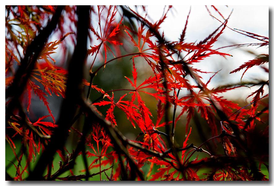 《酒一船摄影》:燃烧的日本红枫_图1-12