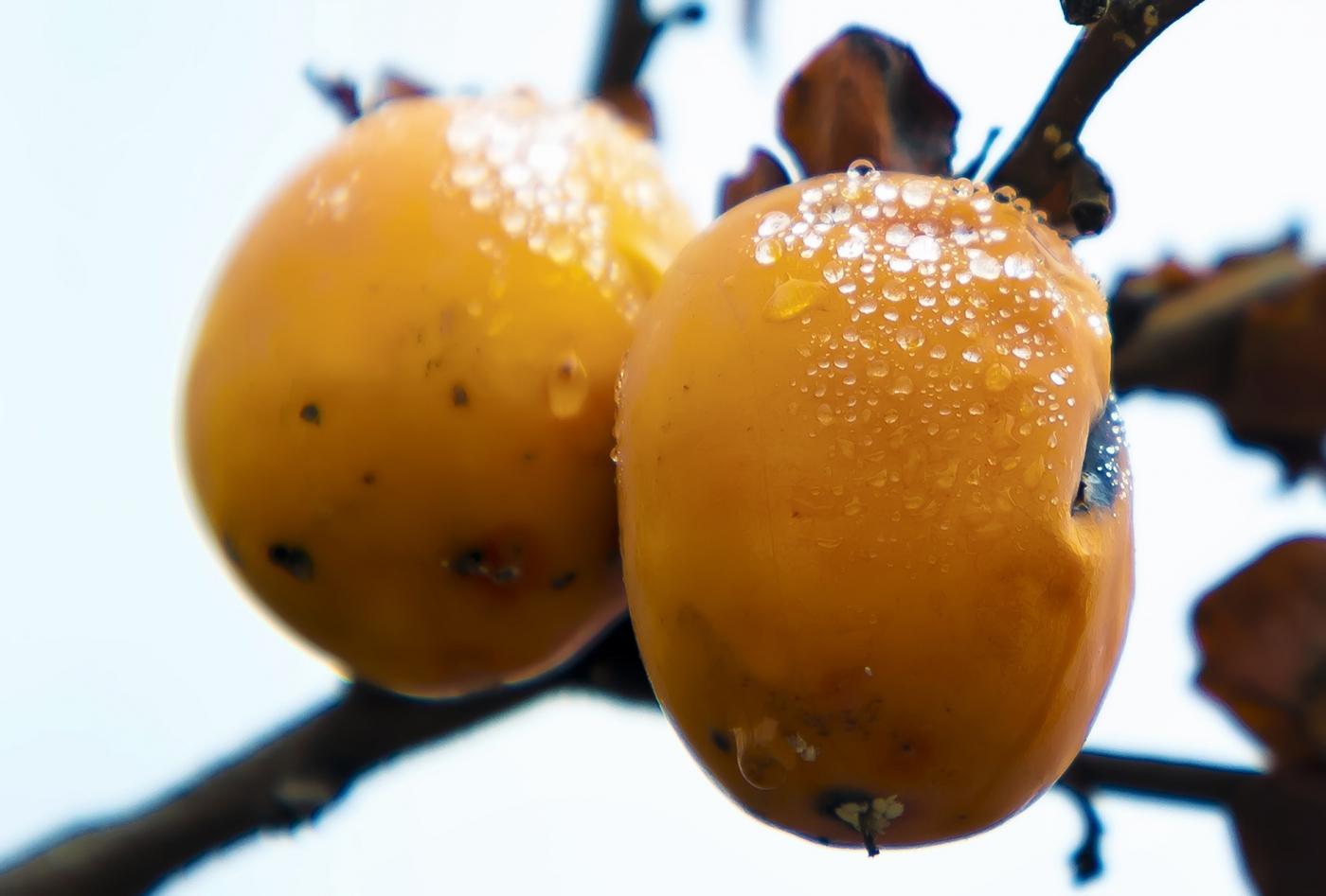 墙头累累柿子黄,人家秋获争登场---来自蒙山最后几枚柿子_图1-2
