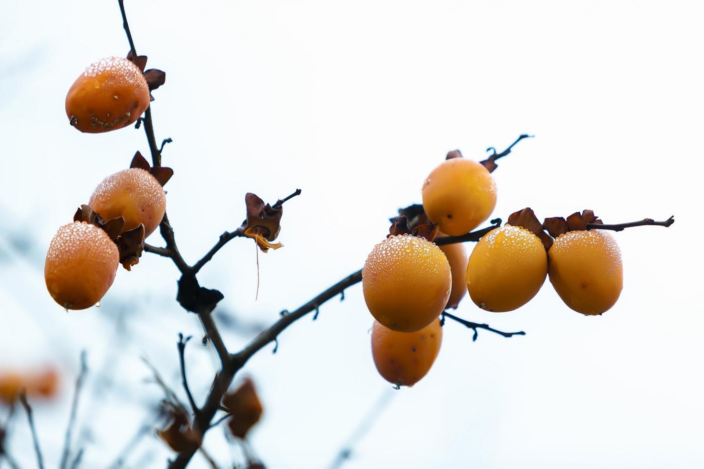 墙头累累柿子黄,人家秋获争登场---来自蒙山最后几枚柿子_图1-3