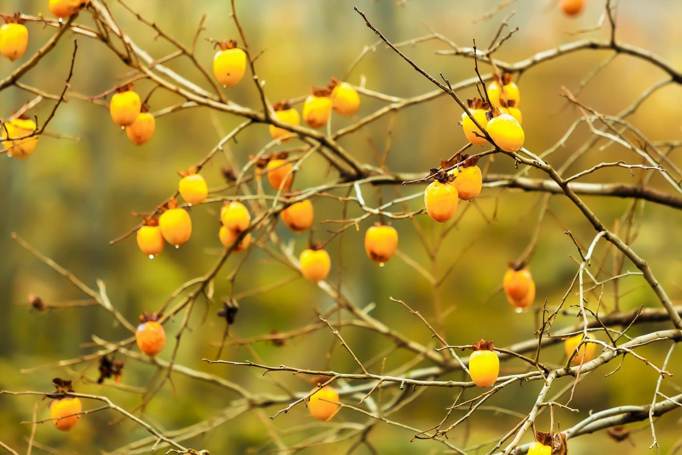 墙头累累柿子黄,人家秋获争登场---来自蒙山最后几枚柿子_图1-4