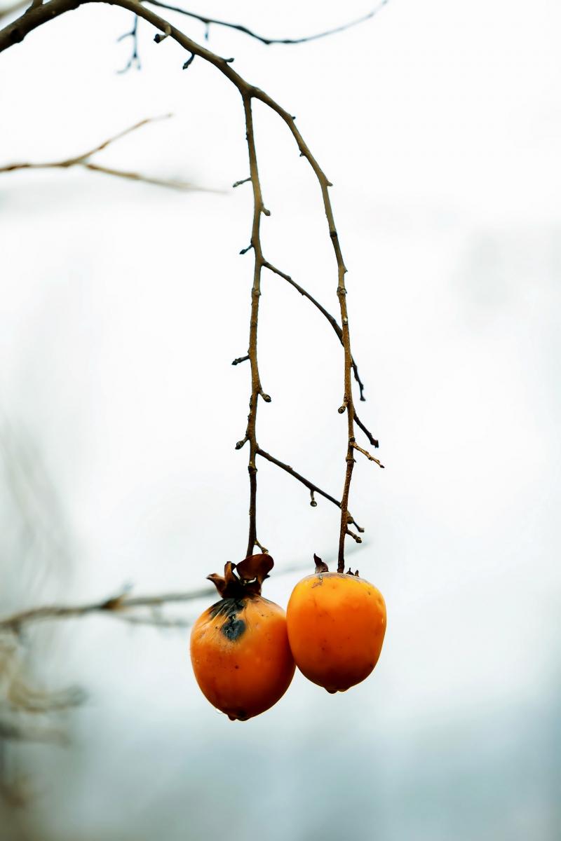 墙头累累柿子黄,人家秋获争登场---来自蒙山最后几枚柿子_图1-1