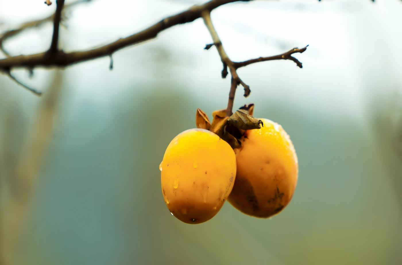 墙头累累柿子黄,人家秋获争登场---来自蒙山最后几枚柿子_图1-5