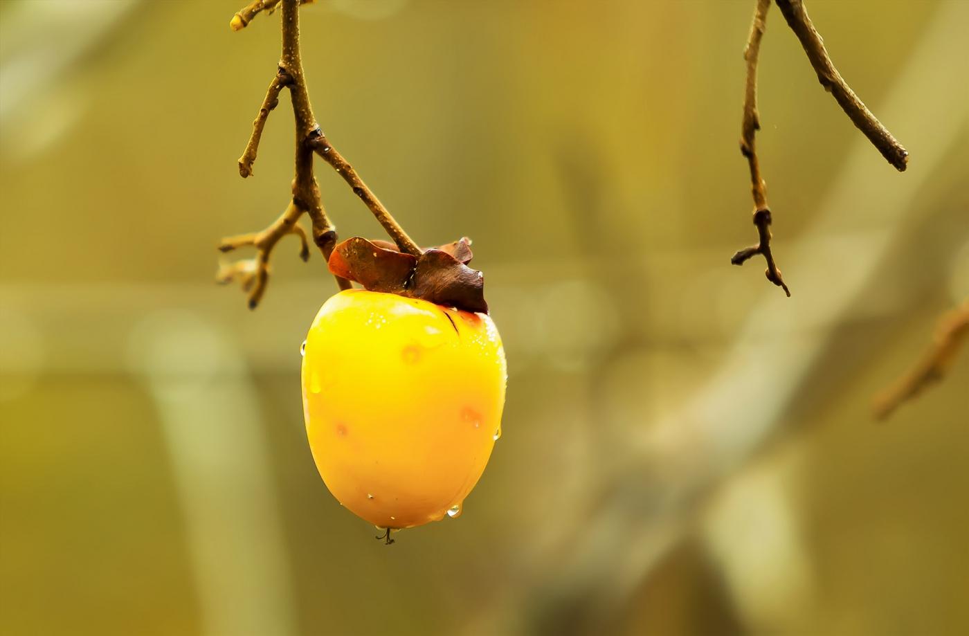 墙头累累柿子黄,人家秋获争登场---来自蒙山最后几枚柿子_图1-6