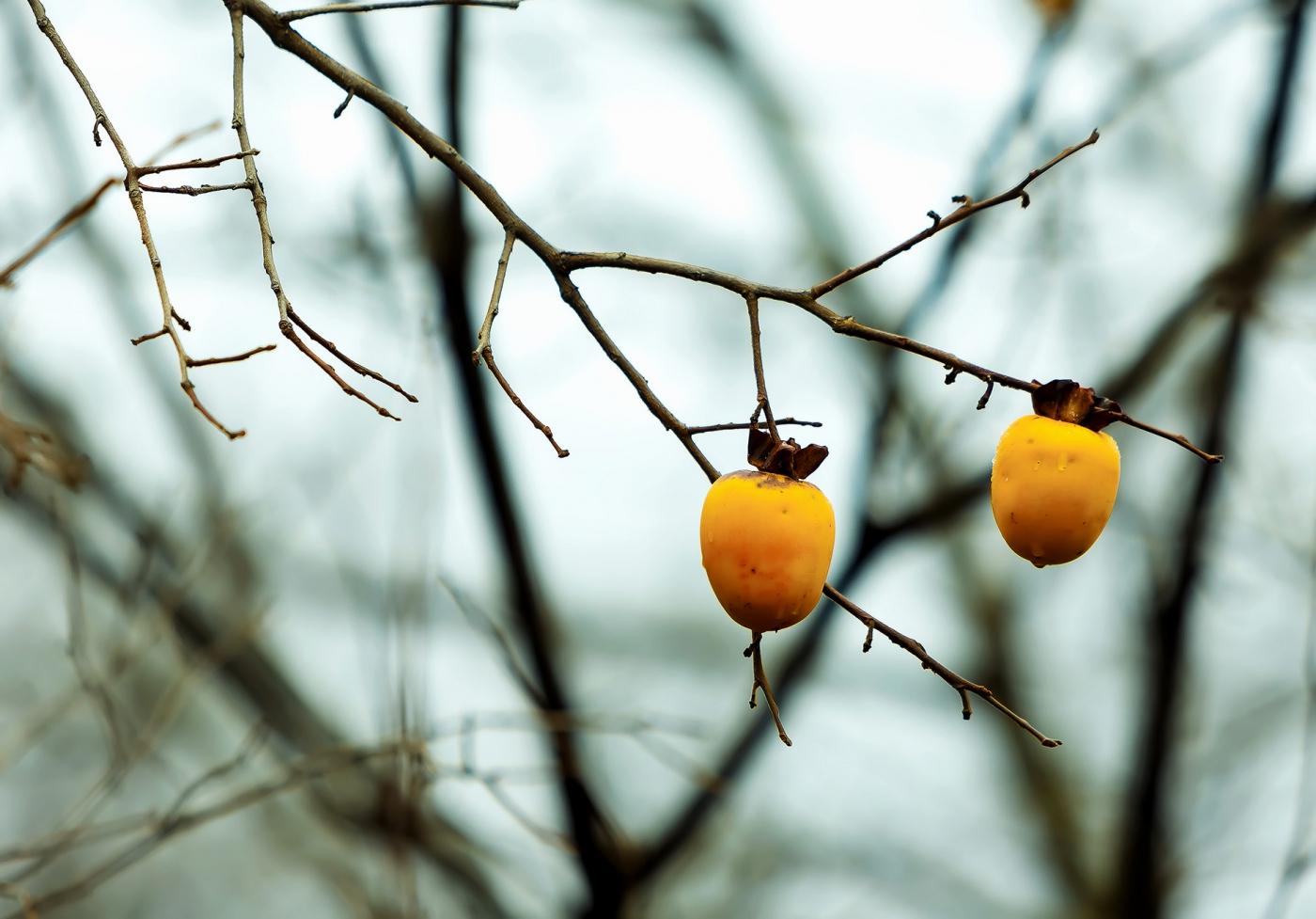 墙头累累柿子黄,人家秋获争登场---来自蒙山最后几枚柿子_图1-7