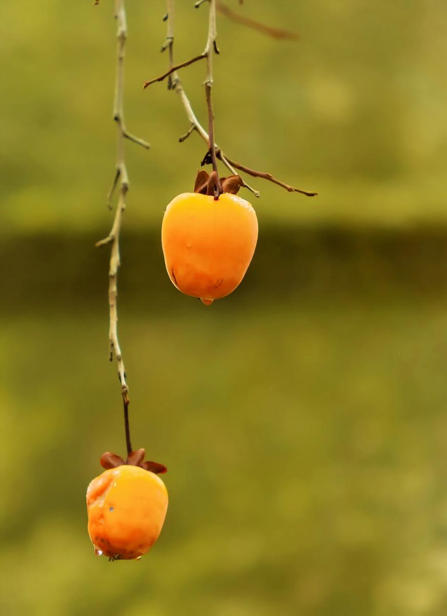 墙头累累柿子黄,人家秋获争登场---来自蒙山最后几枚柿子_图1-8