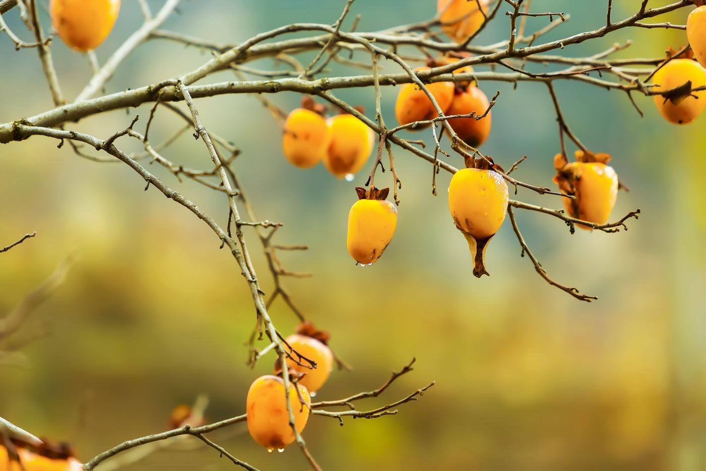 墙头累累柿子黄,人家秋获争登场---来自蒙山最后几枚柿子_图1-9