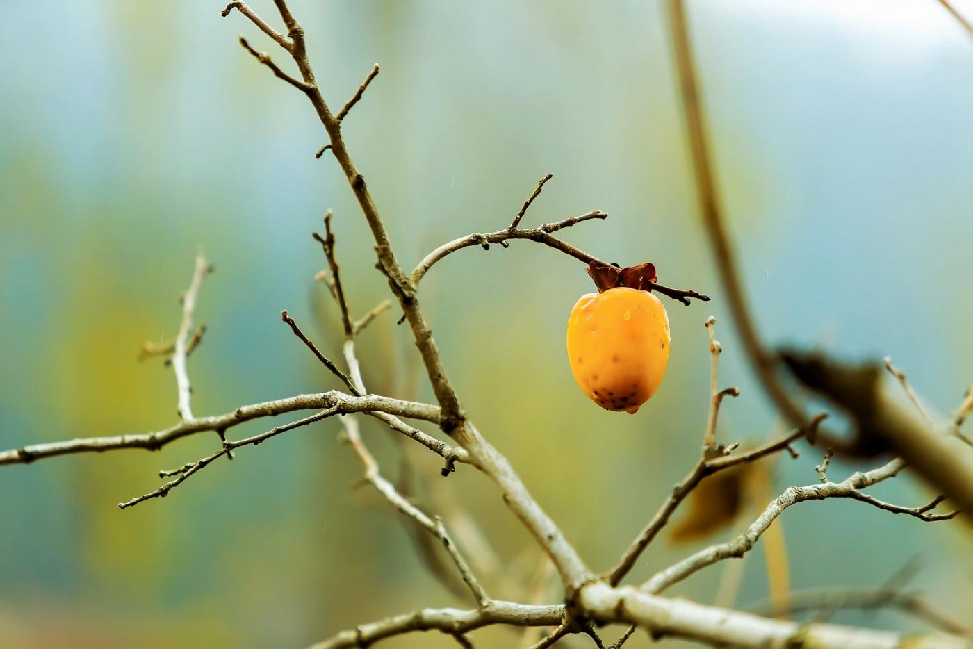 墙头累累柿子黄,人家秋获争登场---来自蒙山最后几枚柿子_图1-10