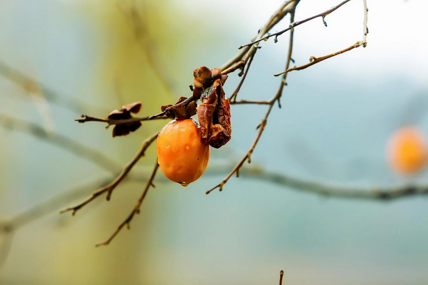 墙头累累柿子黄,人家秋获争登场---来自蒙山最后几枚柿子_图1-11