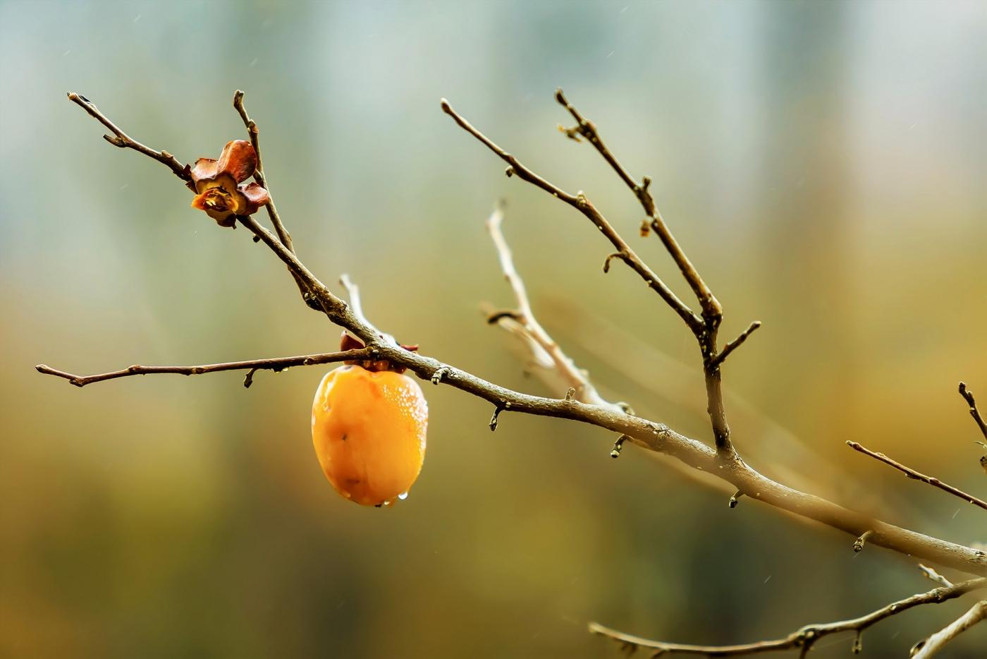 墙头累累柿子黄,人家秋获争登场---来自蒙山最后几枚柿子_图1-13