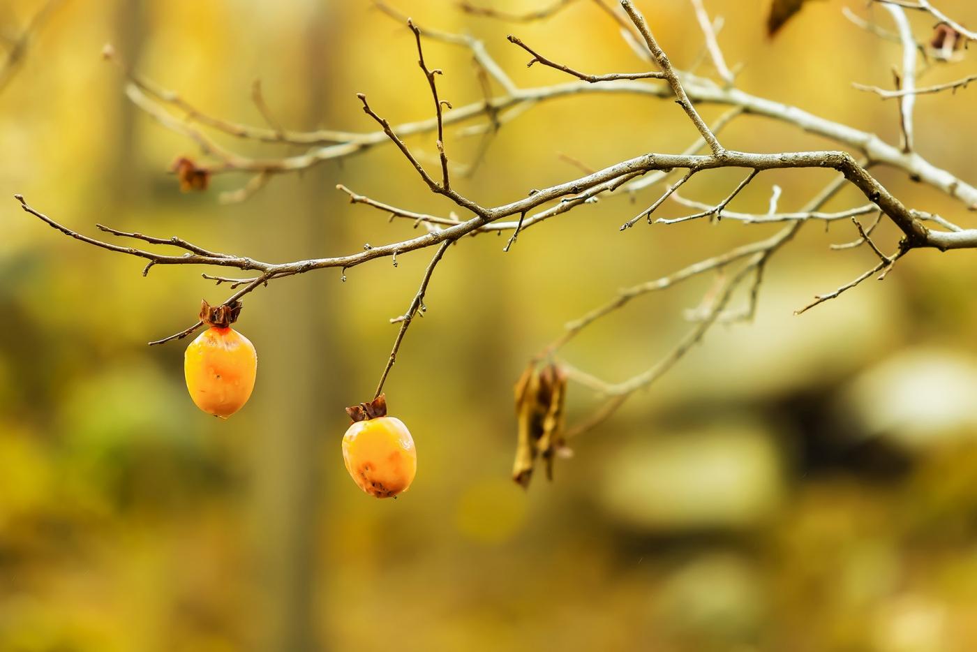 墙头累累柿子黄,人家秋获争登场---来自蒙山最后几枚柿子_图1-14
