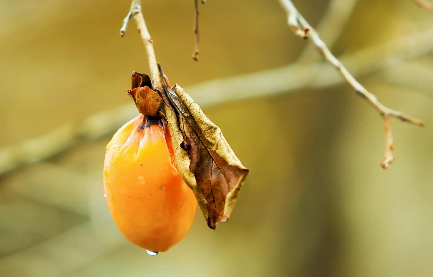 墙头累累柿子黄,人家秋获争登场---来自蒙山最后几枚柿子_图1-15